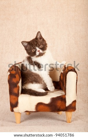 Selkirk Rex kitten sitting on cowhide miniature chair on beige background