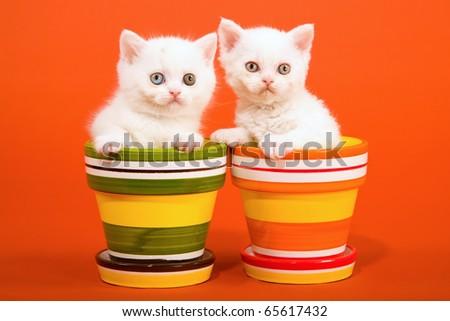 Selkirk Rex kittens sitting in colorful pots