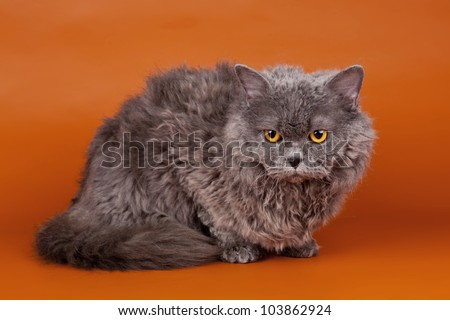 Selkirk rex on orange background