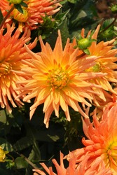 Semi-cactus dahlia of the 'Gold Crown' variety - a gorgeous variety which produces large spiky orange flowers
