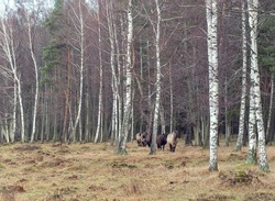 Semi-wild Konik Polski horses coming in a row from the forest at Engure nature park, Latvia on overcast November day