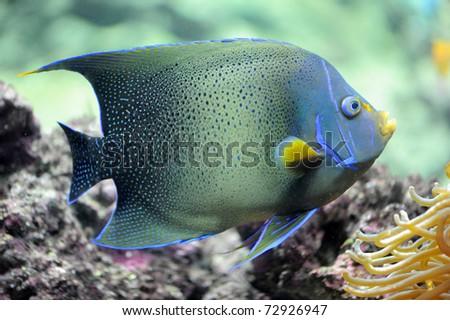 semicircle angelfish ...