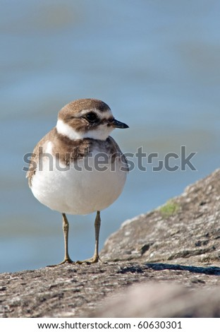 Semipalmated Plover, vertical shot with ample room for type
