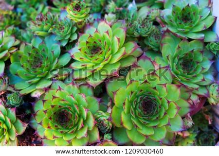 Sempervivum bunch, a group of succulent plants in miniature - vintage effect style.