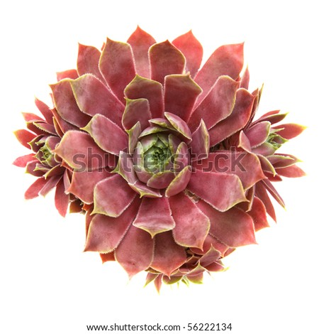 sempervivum isolated on white, top view - stock photo