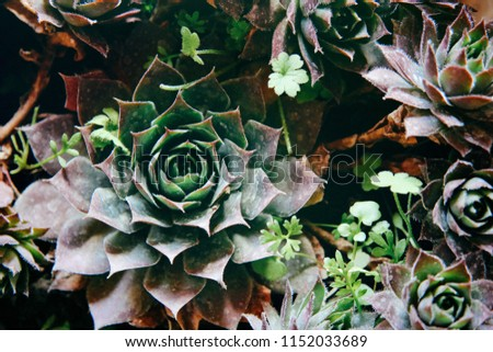 Sempervivum live forever are flowering plants, They are succulent perennials forming mats composed of tufted leaves in rosettes . Beautiful background with vintage analogue look
