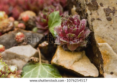 """Sempervivum means """"always living,"""" or the common name of live forever. Houseleeks grow on walls and roofs, and are popular cultivated plants."""