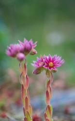 Sempervivum or houseleeks plant (Sempervivum montanum) in Néouvielle Nature Reserve in Vallée d'Aure valley of L'Occitanie region of Hautes-Pyrénées in France, Europe