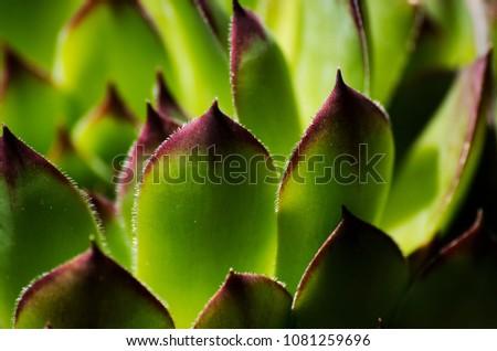 Sempervivum plant - live forever