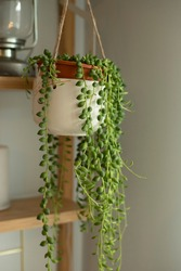 Senecio rowleyanus house Plant in a white hanging pot. String of Pearls plant. Vertical shot.