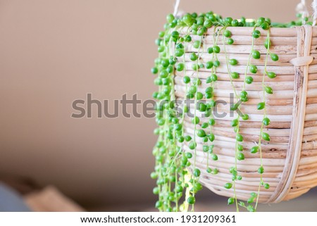 Senecio rowleyanus house Plant in  hanging pot. String of Pearls plant, succulent plant hanging in a greenhouse, calm serenity sunny place indoors string-of-pearls or string-of-beads native to africa