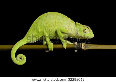 Senegal chameleon (Chamaeleo Senegalensis) isolated on black background.