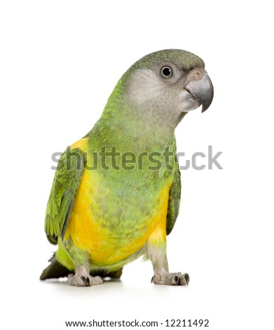 Senegal Parrot - Poicephalus senegalus in front of a white background