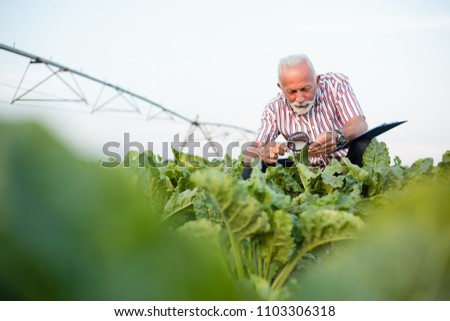 Senior agronomist or farmer examining sugar beet or soybean leaves with magnifying glass. Irrigation system in background. Organic food production.