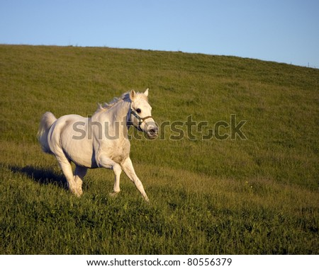 Senior Arabian Horse running in pasture
