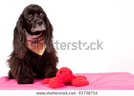 Senior black cocker spaniel dog isolated on white backdrop
