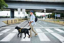 Senior blind man with guide dog walking outdoors in city, crossing the street.