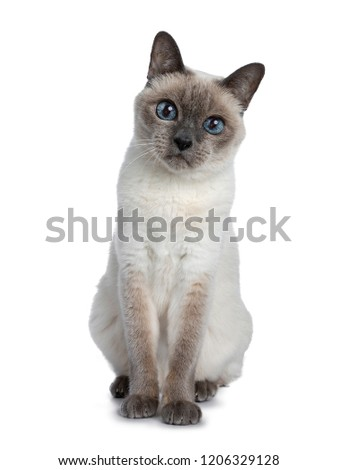 Senior blue point Thai cat sitting front view, looking straight in camera with blue wise eyes. Isolated on white background.