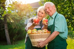 Senior couple holding apples. Cheerful people in aprons outdoor. When to harvest fruits.