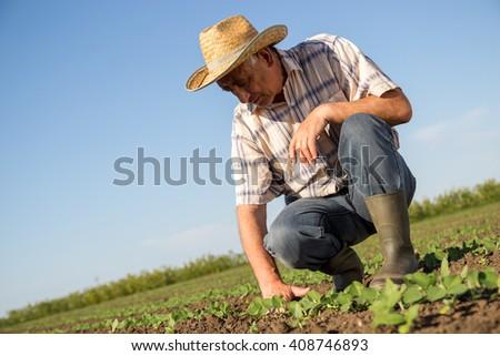 Senior farmer in a field examining crop.