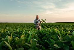 Senior farmer standing in soybean field examining crop at sunset.