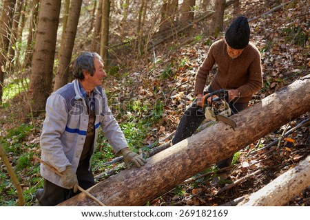 Senior farmers woodcutters cutting down trees for timber or firewood