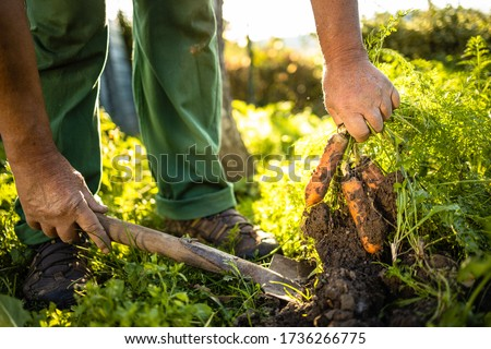 Senior gardener gardening in his permaculture garden - harvesting carrots Stock foto ©