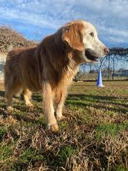 Senior golden retriever looking into morning sun, happy dog