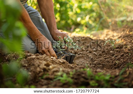 Senior grandfather gardening on the ground kneeling, sunny day. Tomato seedlights in hands. Pots on soil. Concept of gardening. Organic and healthy lifestyle