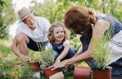 Senior grandparents and granddaughter gardening in the backyard garden.