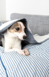 Senior Jack Russell Mix with One Eye Hiding Under Blanket