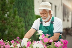 Senior male gardener working with pink and white flowers in flowerpots outdoors. Portrait of eldery man wearing uniform and hat taking care of plants and looking aside. Concept of gardening.