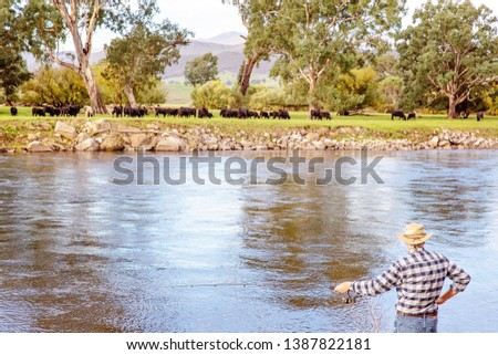Senior male on holiday fly fishing for trout in a fast flowing river with cows grazing in the background