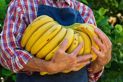 Senior man, farmer, worker holding in hands harvest of organic fresh yellow bananas. Bio and organic cultures, farming, private garden, orchard, natural economy