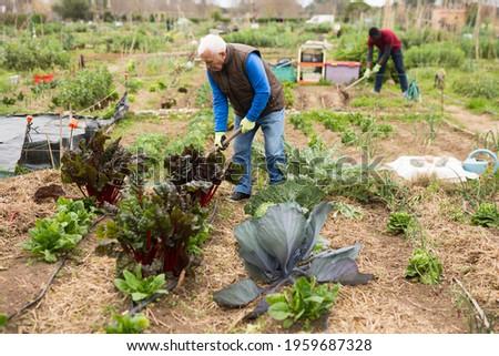 Senior man horticulturist with mattock working in garden outdoor Stock photo ©