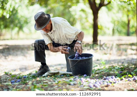 Senior man picking plums in an orchard at harvest time