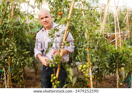 Senior man tending and cultivating tomatoes at glasshouse, trimming plants #1479252590