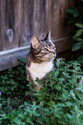 senior tabby cat sitting in a patch of catnip