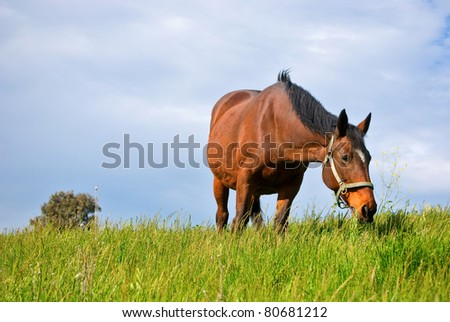 Senior Warmblood Mare grazing in pasture