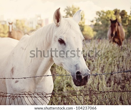 Senior White Arabian at fence with bay quarter horse gelding in background