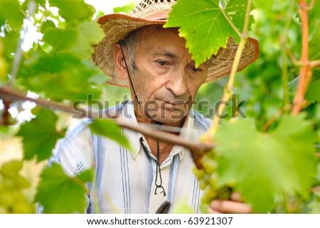 Senior winemaker harvesting grapes