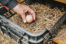 Senior woman collecting or harvesting a fresh egg from a chicken coop, home farming