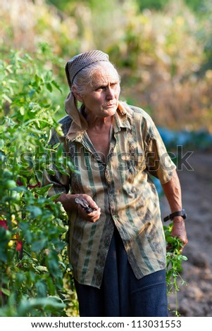 Senior woman looking for ripe vegetable in the garden, with scissors - stock photo