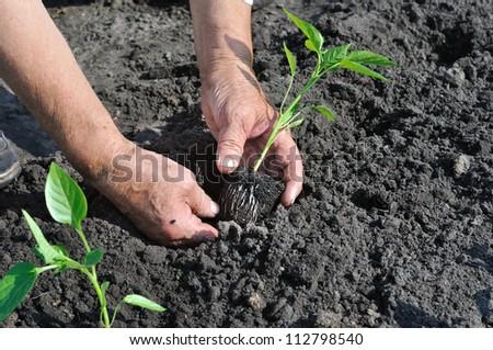senior woman planting a pepper seedling in the vegetable  garden