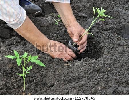 senior woman planting a tomato seedling in the vegetable garden