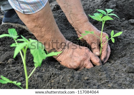 senior woman planting a tomato seedling in the vegetable garden