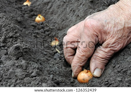 Senior woman planting onion in the vegetable garden