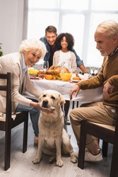senior woman stroking golden retriever during thanksgiving celebration with multiethnic family