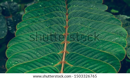 Senna alata leaves green beautiful background. Senna alata or acapulo have medicinal properties, another name is Candelabra bush, Candle bush. #1503326765