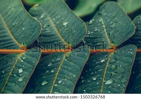 Senna alata leaves green beautiful background. Senna alata or acapulo have medicinal properties, another name is Candelabra bush, Candle bush. #1503326768